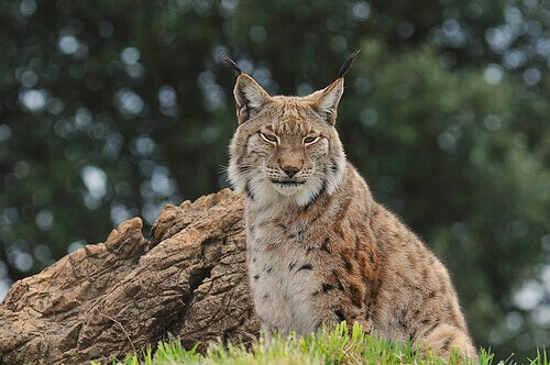 An old lynx from the Iberian Peninsual is resting.