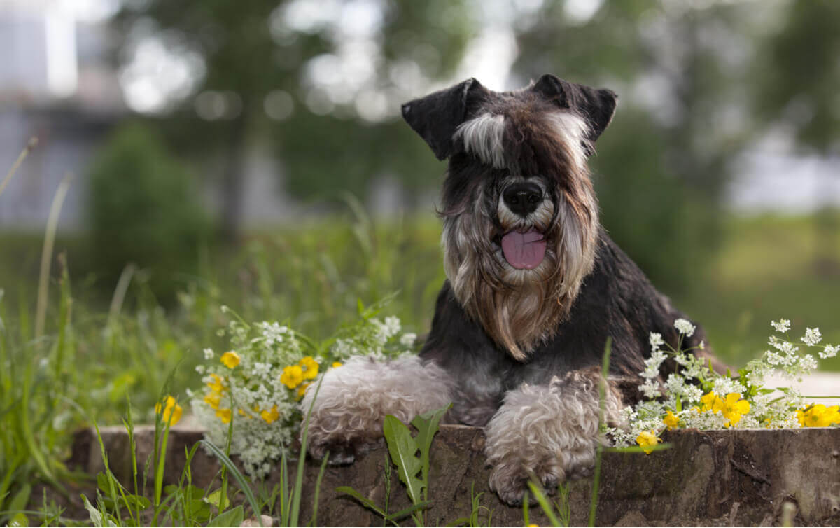 A posing Miniature Schnauzer, a dog that is likely to run away.
