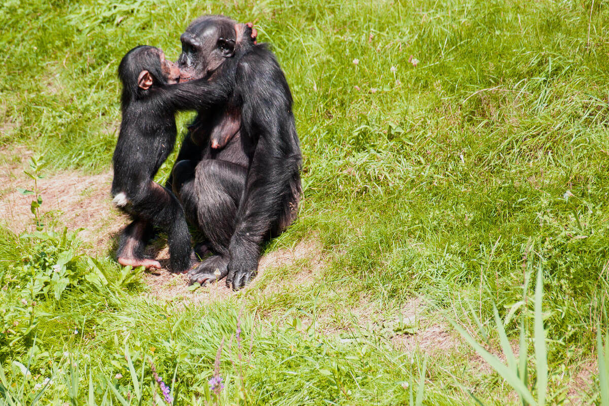 A kiss between a chimpanzee and its young.