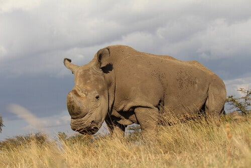 The Last Male Northern White Rhinoceros Dies