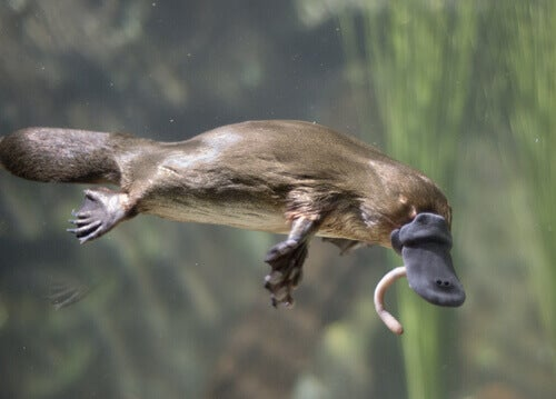 A platypus catching a worm.