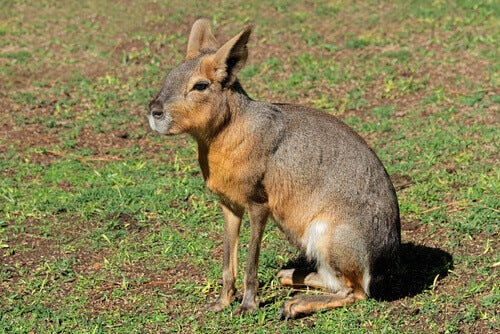 The Patagonian mara lives in South America.