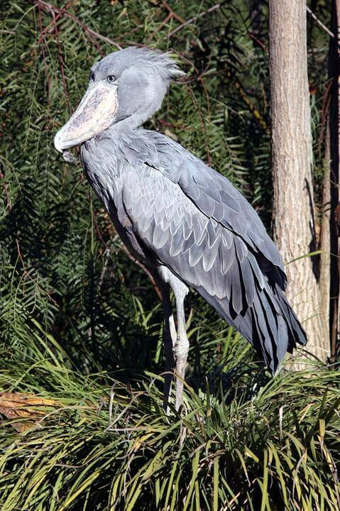 The shoebill pelican.