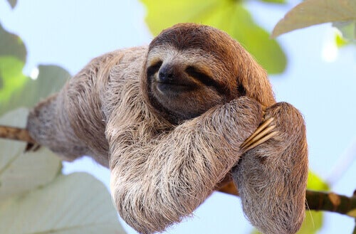 A sloth on a branch.