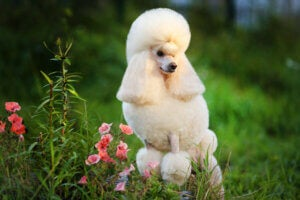 Four Types of Poodles and Their Characteristics