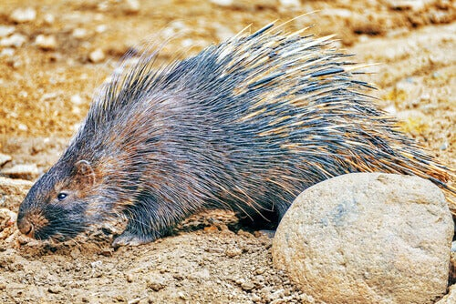 The porcupine is one of the largest rodents.