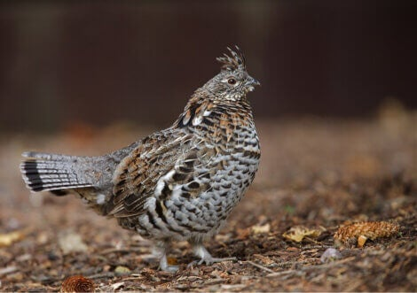 Ruffed grouse, exotic relative of the chicken.