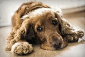 A dog with a sad look on the floor.