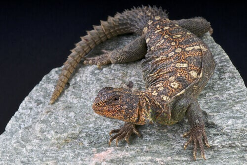 The Moroccan fauna has many reptiles like the Saharan spiny-tailed lizard.