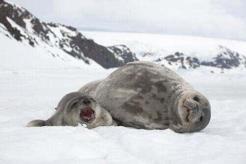 A seal with its pup on snow.