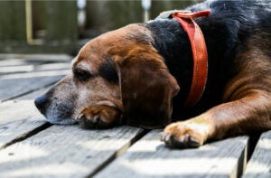 An old beagle on the porch.