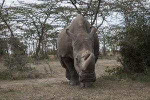 This is Sudan, the last male northern white rhinoceros.