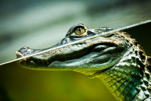 The caiman is another of the most famous reptiles living in the Amazon.