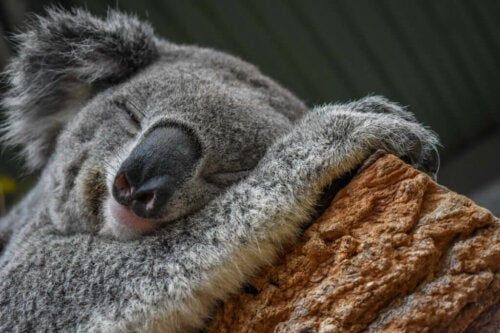 The Koala is a Master at Adapting to the Environment