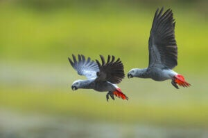 A pair of gray parrots flying.