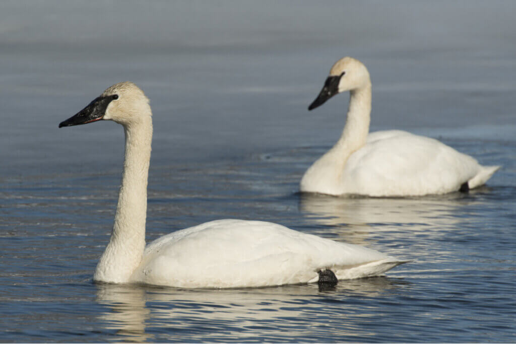 Characteristics of the Trumpeter Swan