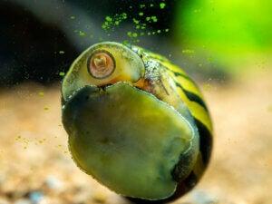 A snail eating seaweed.