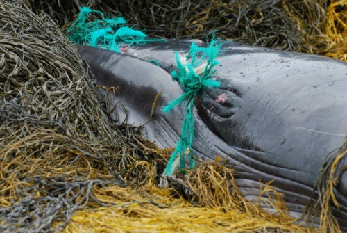 A whale tangled in a net.