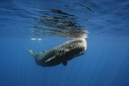 A Whale that Was Saved from Certain Death