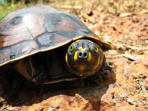 The yellow-spotted Amazon river turtle lives in the rivers and lakes of the Amazon.