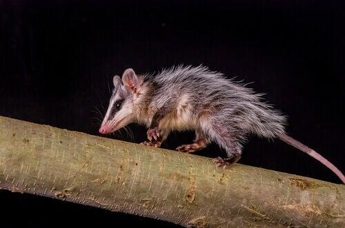 An opossum on a tree branch.