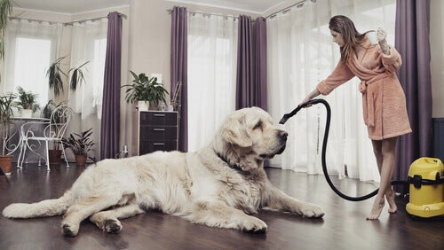 A dog sitting there looking pretty while a woman vacuums.