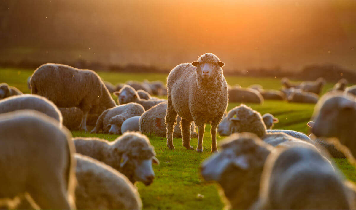 Sheep in a pasture at sunrise.