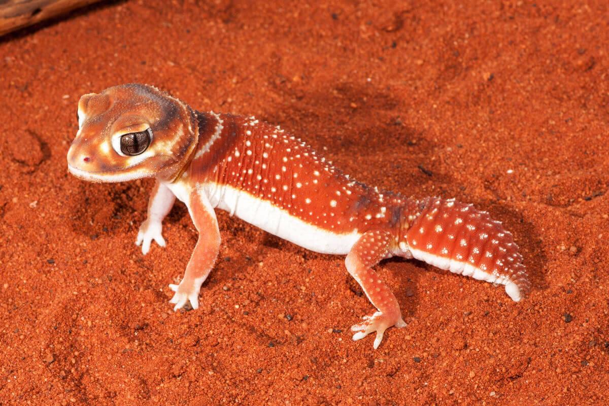 An orange lizard with white spots.