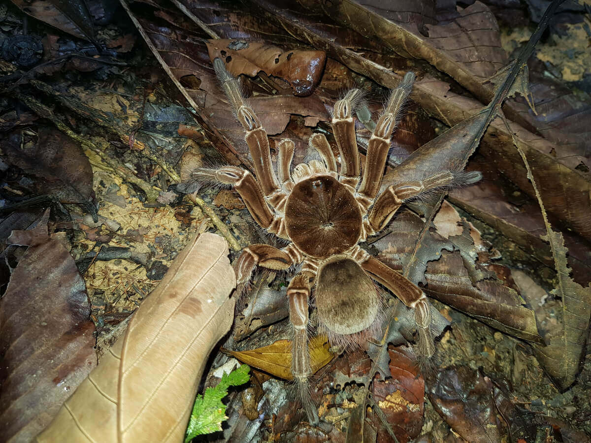 A giant velvety brown tarantula crawling among fallen leaves.