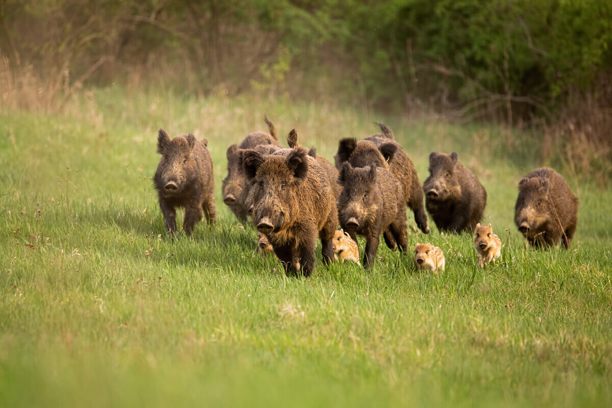 A group of adult and baby wild boars running in a field.