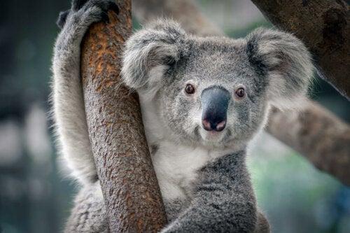 A koala on a tree.