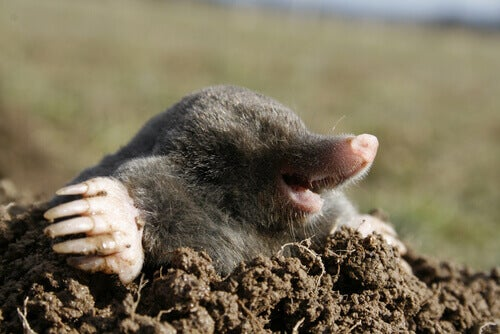 A mole coming out of a hole.