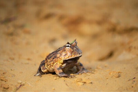 A pacman frog on some sand.