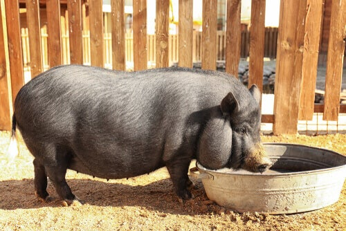 A pig eating.