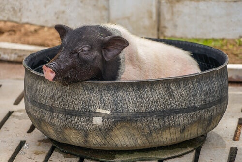 A pig in a pool.