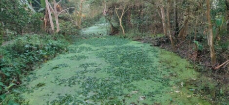 Eutrophication in a river, which is one of the ways that water pollution affects fish.
