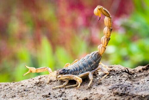 A scorpion on a rock.