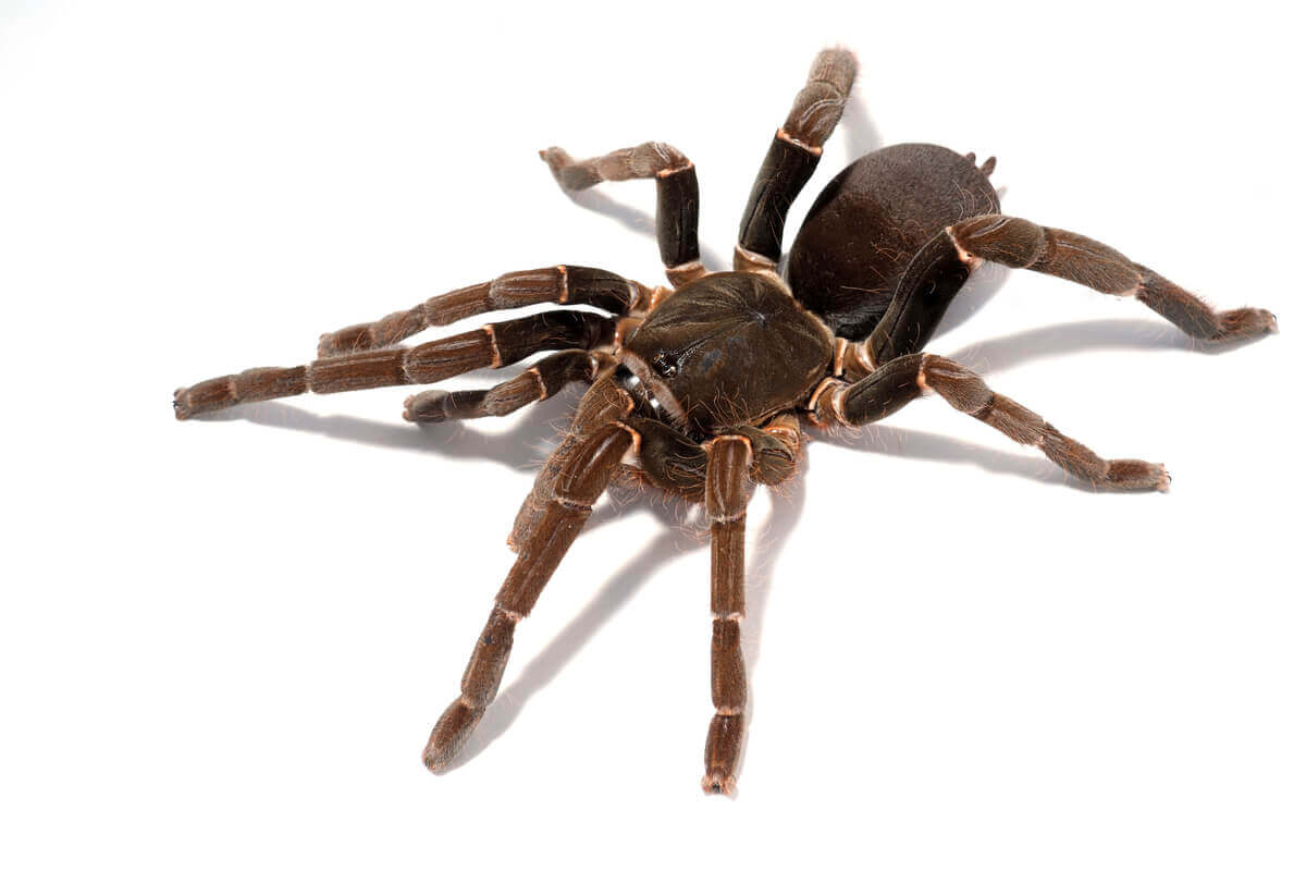 A brown tarantula on a white background.