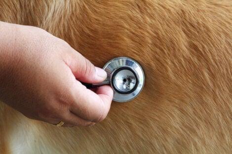 A stethoscope on a dog.