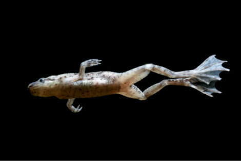 An African dwarf frog against a black background.