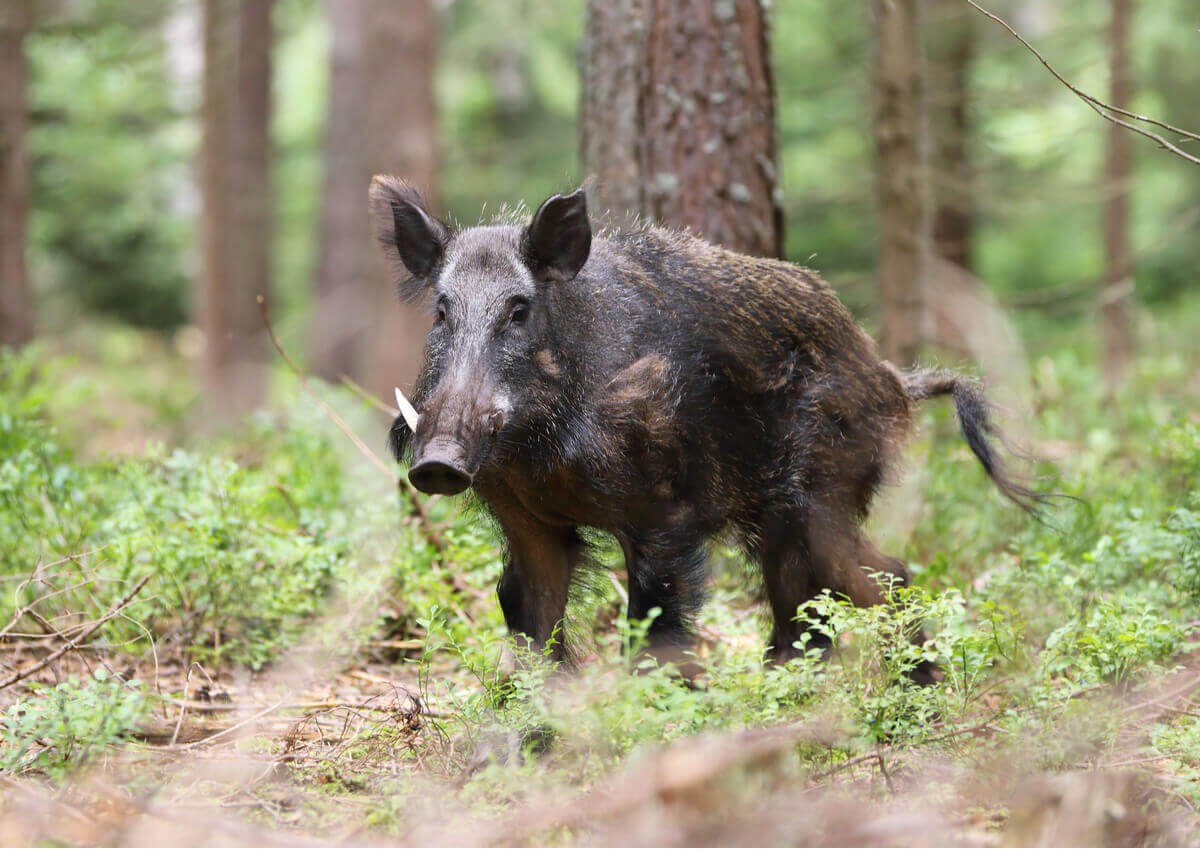 A blackish brown wild boar with white tusks in the woods.