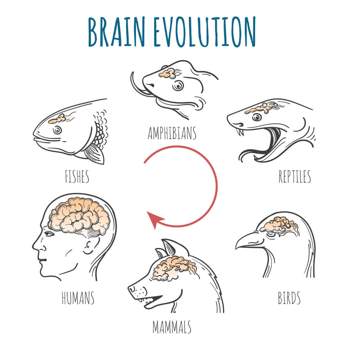 A diagram showing the evolution of the brain.