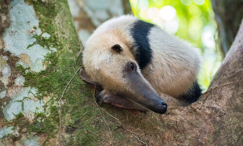 A beige and black anteater curled up in a tree.