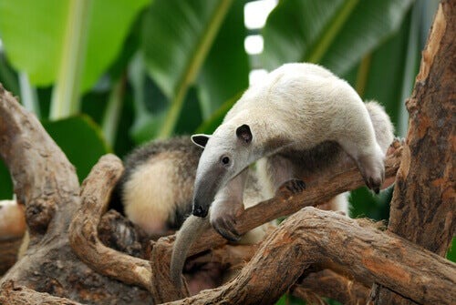 A beige and grey anteater climbing among tree branches.
