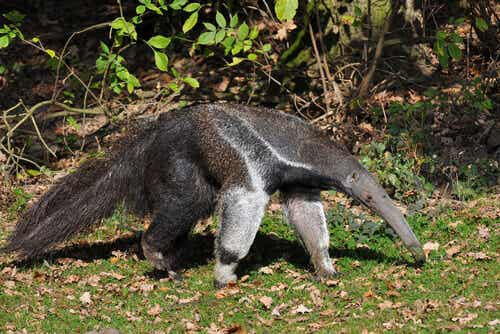 The Characteristics and Behavior of the Anteater