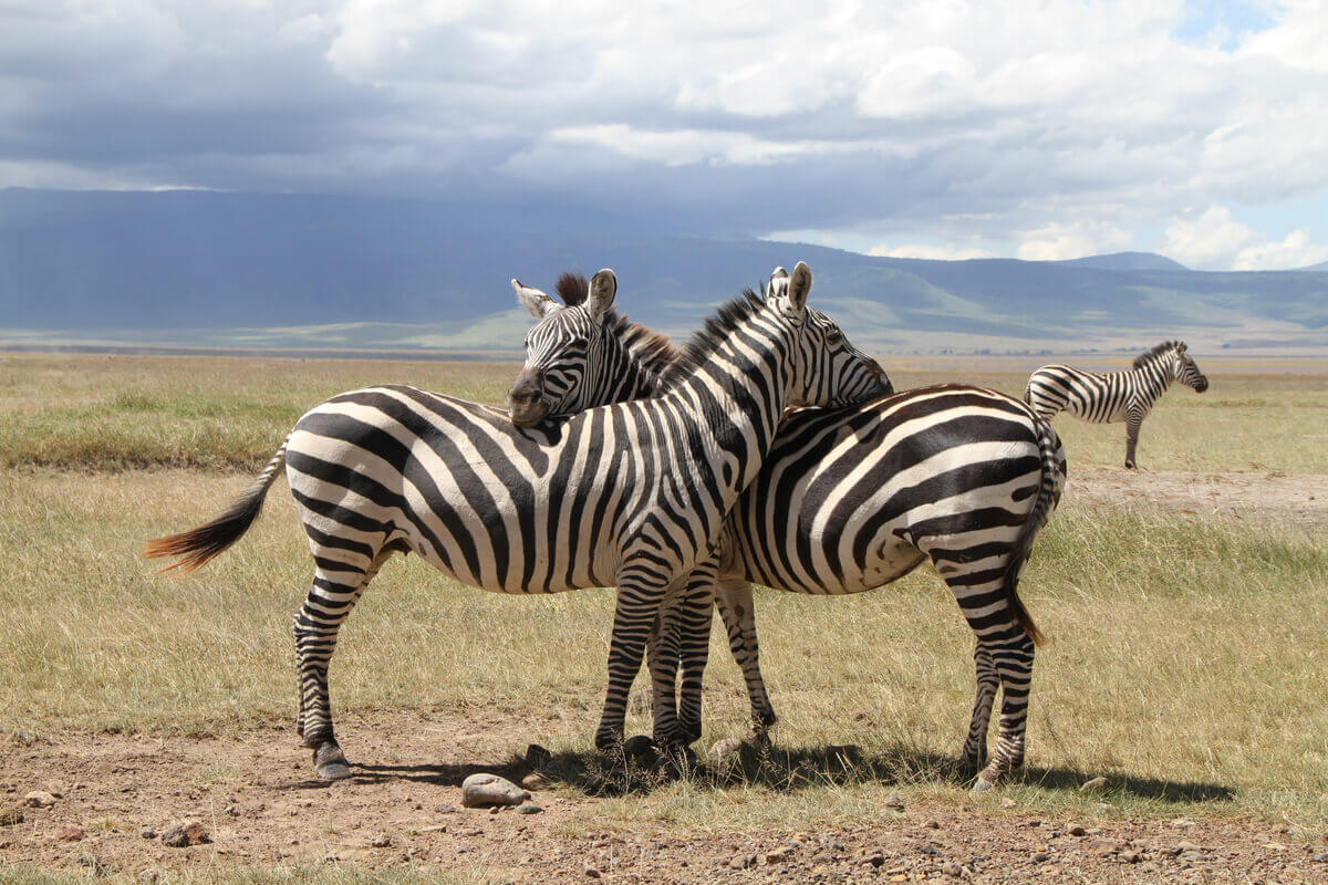 Two zebras that seem to be embracing with their necks.