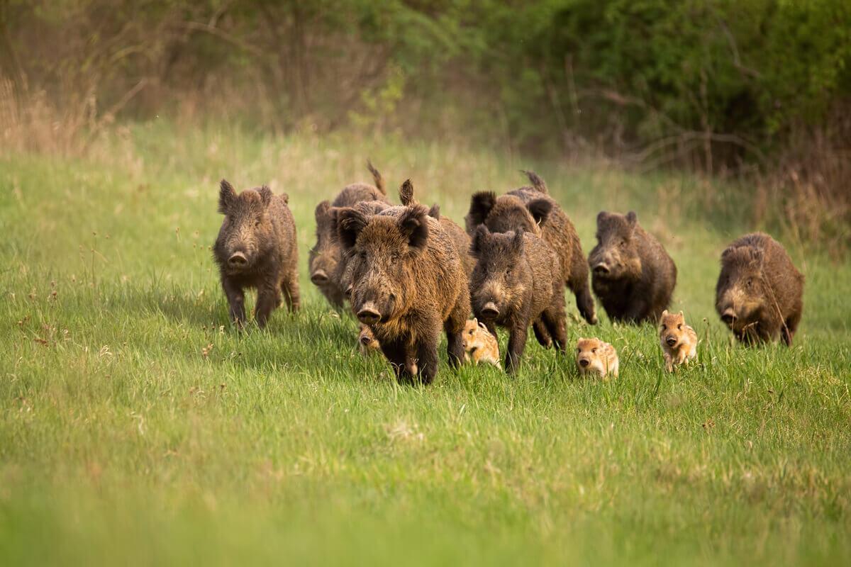 A group of wild boar running in a field.