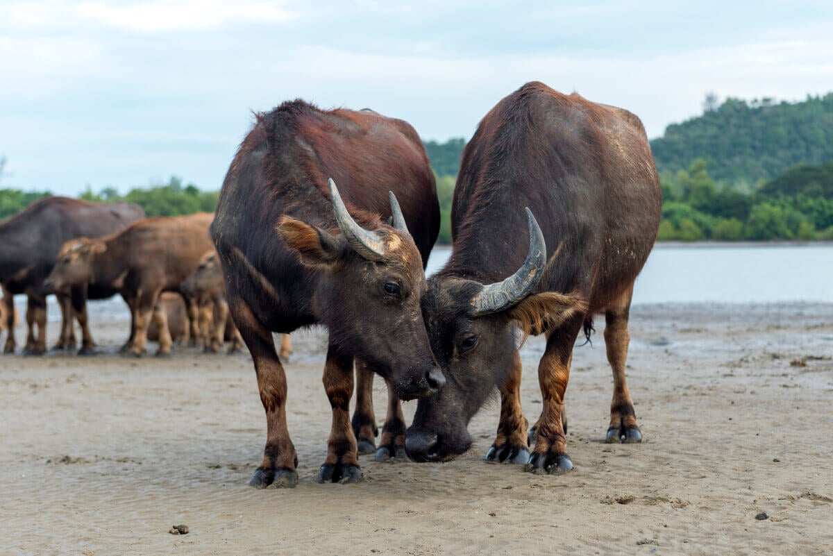 Wild buffalos on the edge of a body of water.