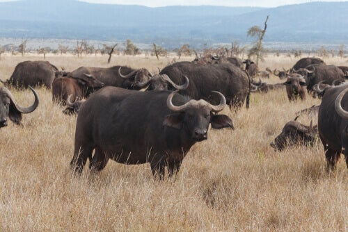 Buffaloes in their natural habitat.
