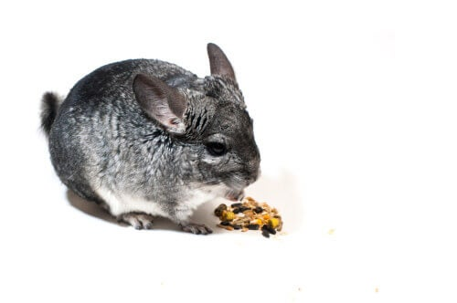 Chinchilla eating seeds.
